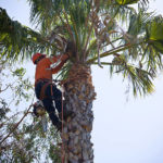 Man in tree trimming palm fronds.